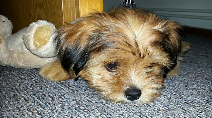 alimentos para anemia perros
