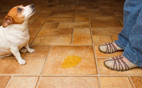 Consejos Para Evitar Que Los Perros Orinen En Casa No Te Lo Pierdas