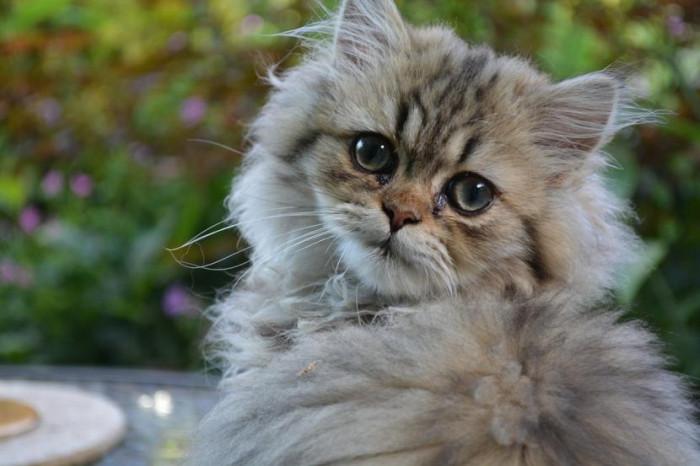 duración de la infección del ojo de gato