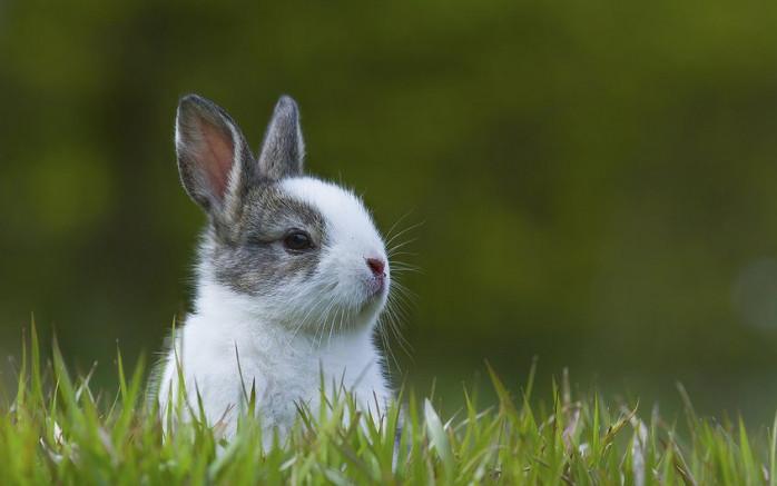 que es miasis en conejos
