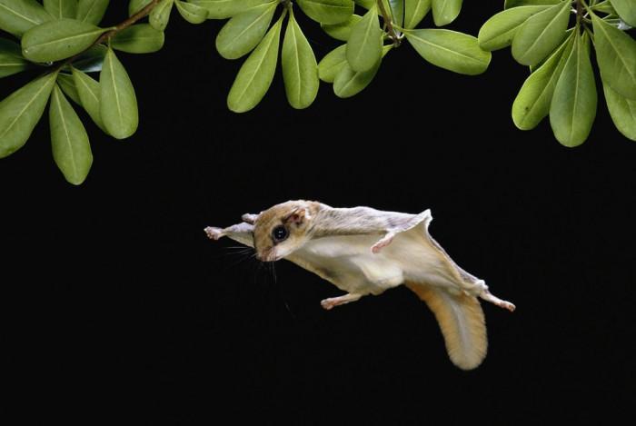 Conoce A La Ardilla Voladora Un Animalito Muy Peculiar