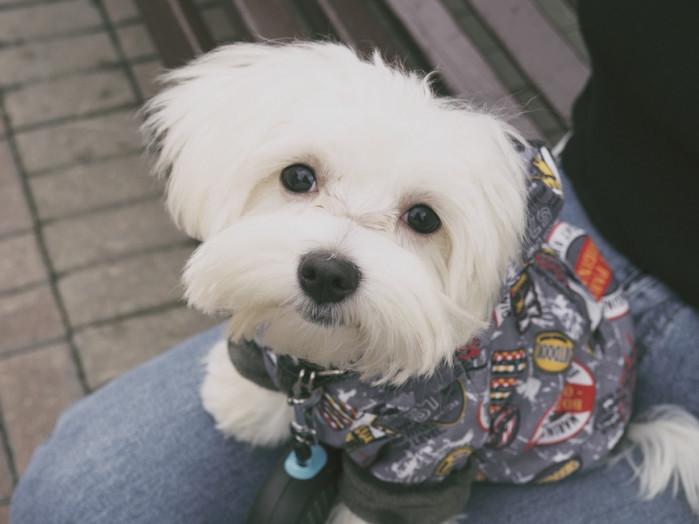 Todo Lo Que Quieres Saber Sobre La Raza De Perro Bichón Maltés