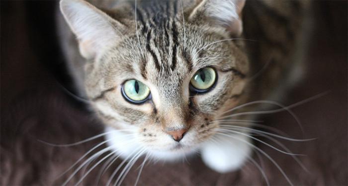 como saber si tu gato tiene sarna