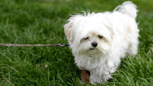 tratamiento gusano de corazon en perros