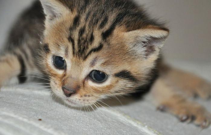 medicina para la tiña en gatos