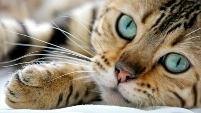 gotas para infeccion en los ojos de gatos