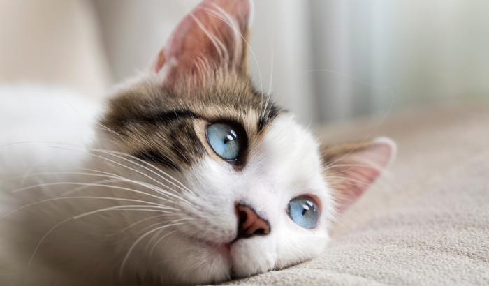 giardiasis en los gatos
